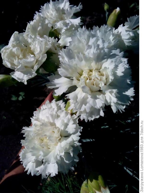 Белые гвоздики