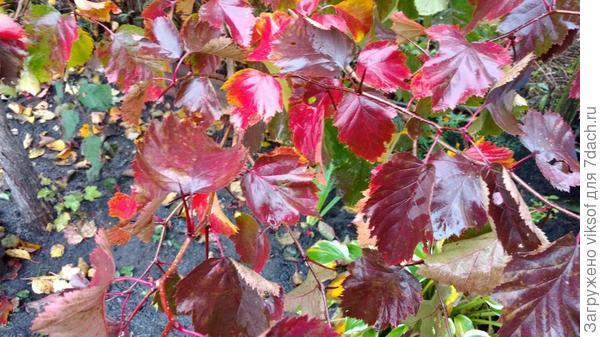 Листья боярышника