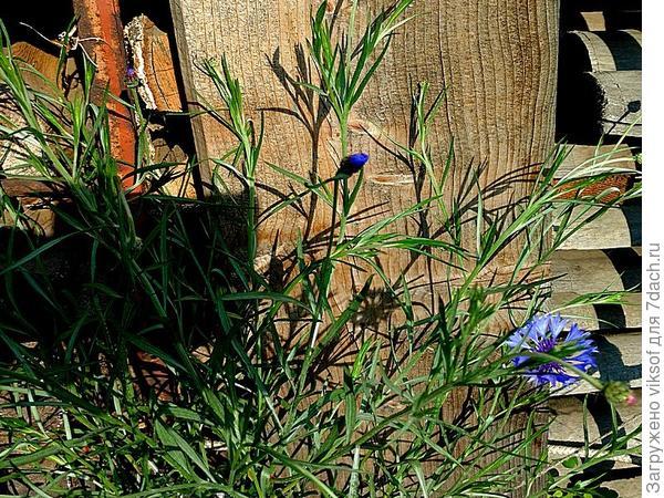 Вот возле дров расцветают, так что в личку пишите свои адреса и получите семена