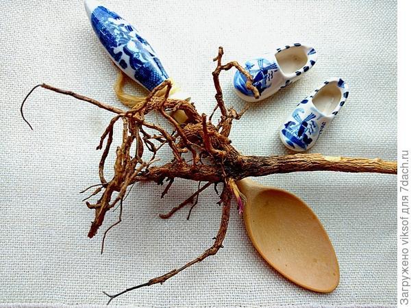 ствол и корни