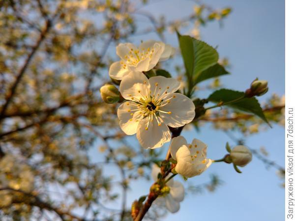 Вот таким цветением встретил нас Первомай, даже не верится, что это на нашей даче!!!