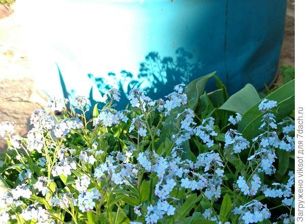 И вовсю цветут незабудки!!!