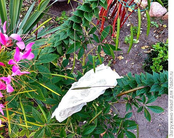 вот так Машенька, запеленала семена клеомы Белая Королева и уложила на крепкий фиолетовый цветонос