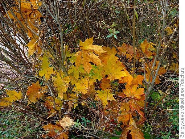 Кленовые листья спрятались от ветра