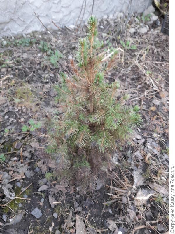 После зимы у елки нижние иголки почернели, а хвоя вверху местами порыжела. Как ее спасти?