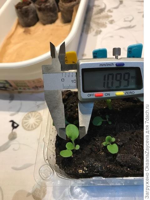 Как вам размерчик? А третий настоящий листик? Отлично растет!