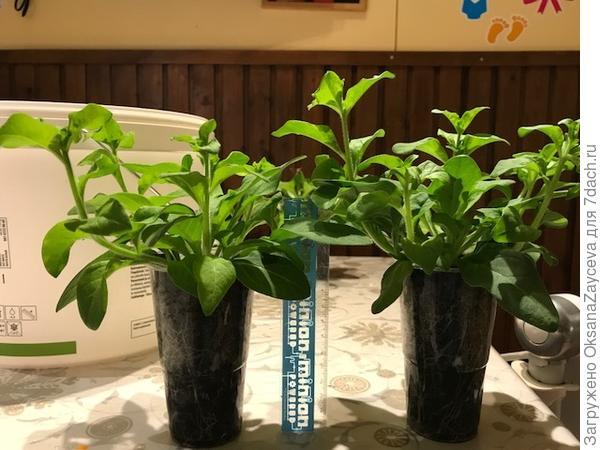 8 апреля. Растениям уже тесно в стаканчиках. Пора на пересадку. Линейка 15 см для задания масштаба