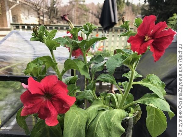 Марко Поло красно-белая. Кустики так себе, не большие. Слева цветочку два дня, справа сегодняшний. Два стаканчика из двух семечек. Окрас одинаковый и не как на упаковке, к сожалению.