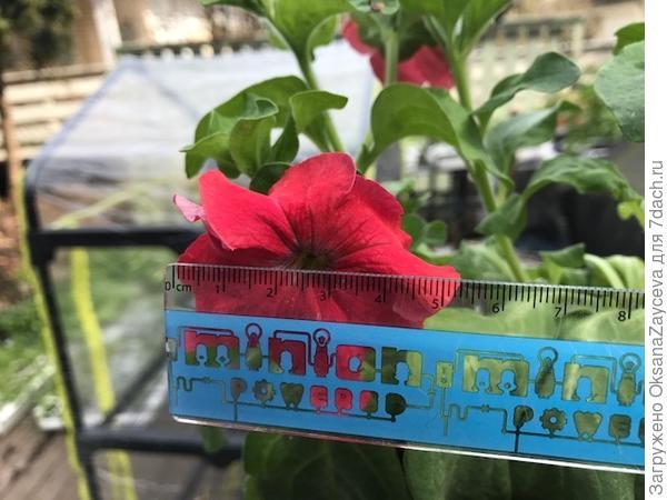 Размер цветочка тоже не большенький, но для ампелек это норма