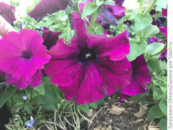 Цветок каскада явно и сильно крупнее ампели