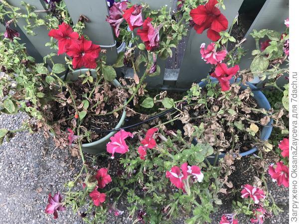 Растения полностью поражены. Стоят на западной стороне веранды, солнце только во второй половине дня. Капельный автополив Гардена - 1 литр на ведро каждое утро