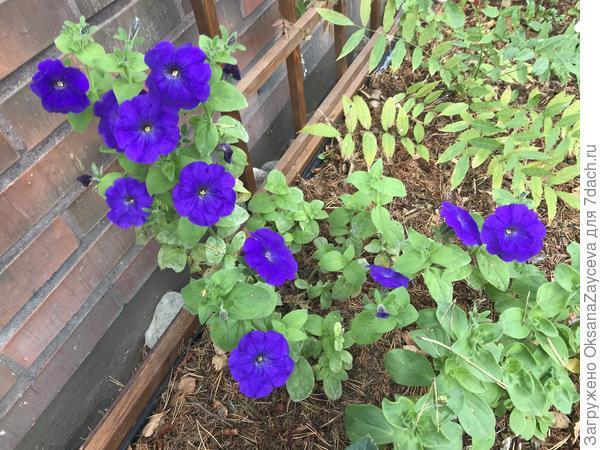 Цветочная лапка, на кустике более 12 цветочков