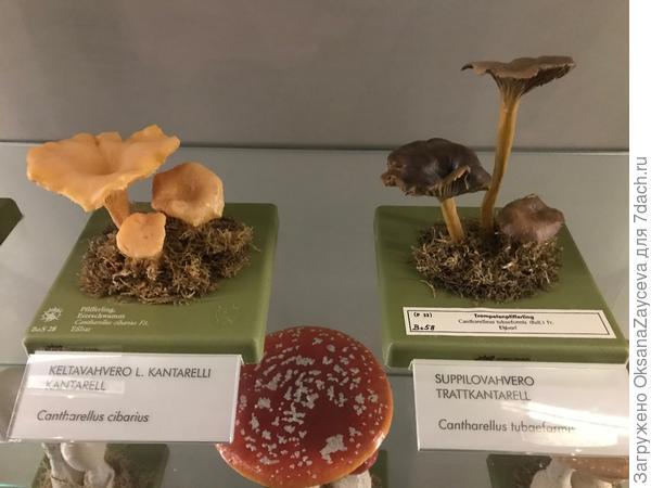 Вот они - два САМЫХ почитаемых гриба Финляндии!