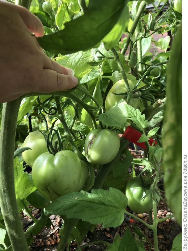 Смотрю на эти кисточки и радуюсь! Вот и к нам на север добрались вкусные помидорки!