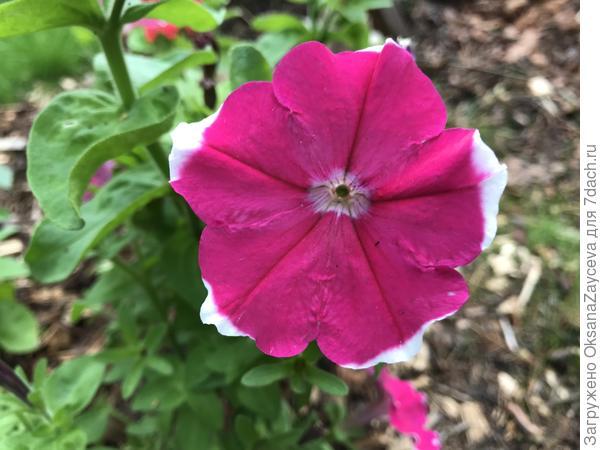 31 августа. Есть кустик с простой формой цветка