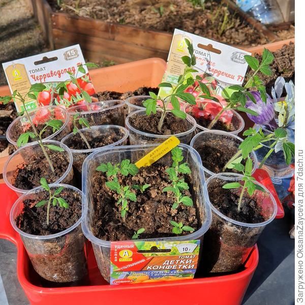 1 апреля, тестируемые томаты