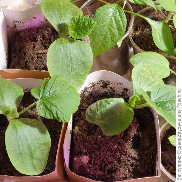 Сеянцы тыквы Розовая торпеда, 12 дней от посева