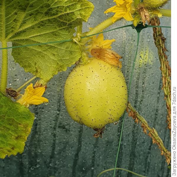 Лимонный огуруц или Хрустальное яблочко