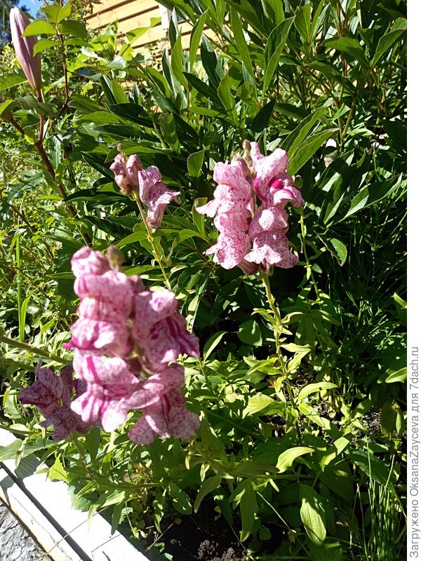 Антирринум 'Пурпурный вальс' F1. Цветение. Потанцуем?