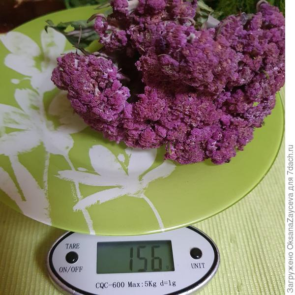 Цветная капуста 'Фиолетовый шар' F1. Итоговый отчет