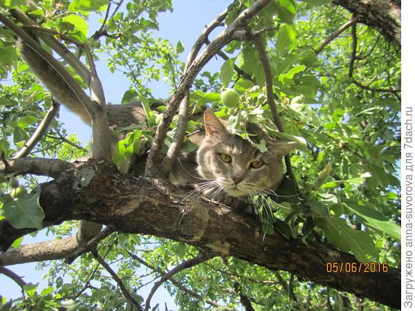 Наш кот Сёма очень любит лазить по деревьям. Кстати нам его подбросили на дачу совсем крохой.