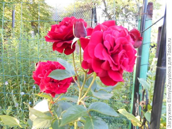 Это после обрезки на высоту около метра-выпустила побеги новые,цветы где-то на уровне 1,5 метра распустились