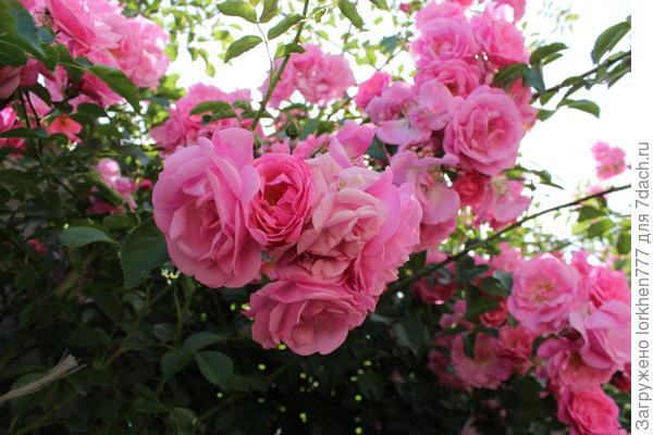 Жасмина розовая.