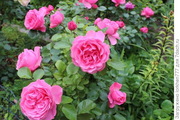 Роза Леонардо де Винче