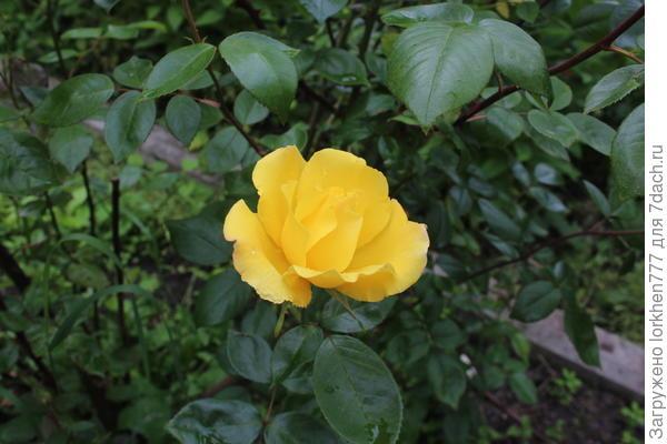 Желтая Фрезия.