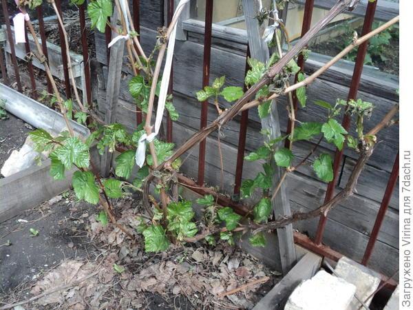 Одмн виногрда все же жив постле заморозка 29 мая. Радость...