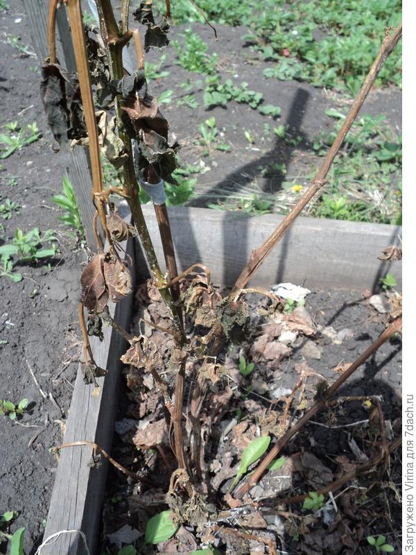 замерзший виноград