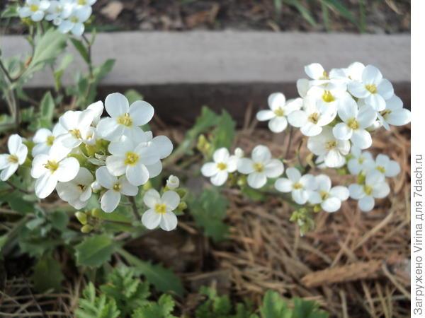 первоцветы