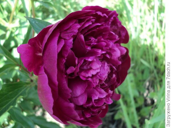 Красный, матушкин... В этом году на кусте более десятка цветков