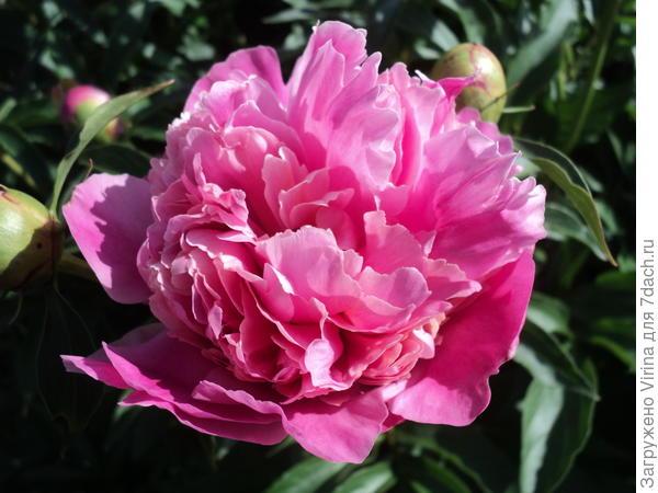 Розовый, его аромат привлекает не только пчел...