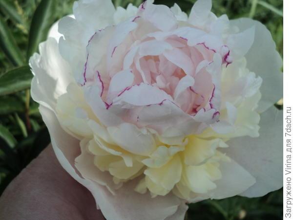 Белый, огромные цветы, но скромный запах