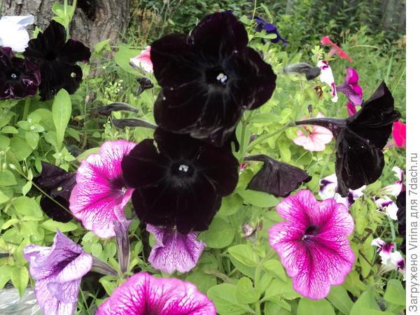 черная петунья