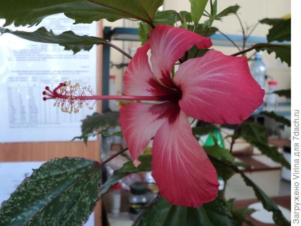 2014 год, вариегатные листья и розовый цветок