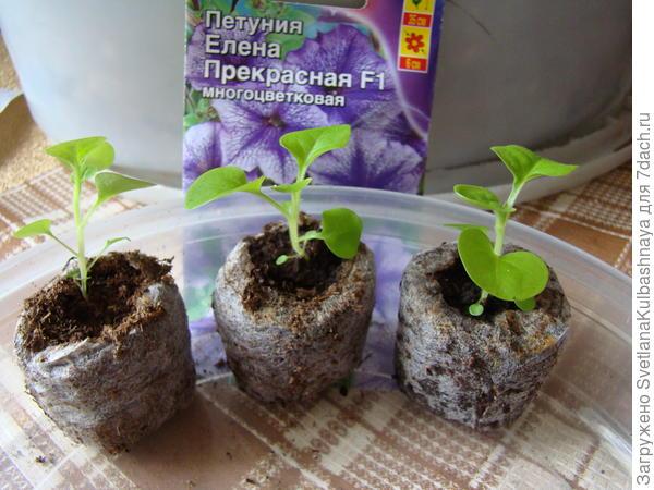 растения в ТПТ до пикировки