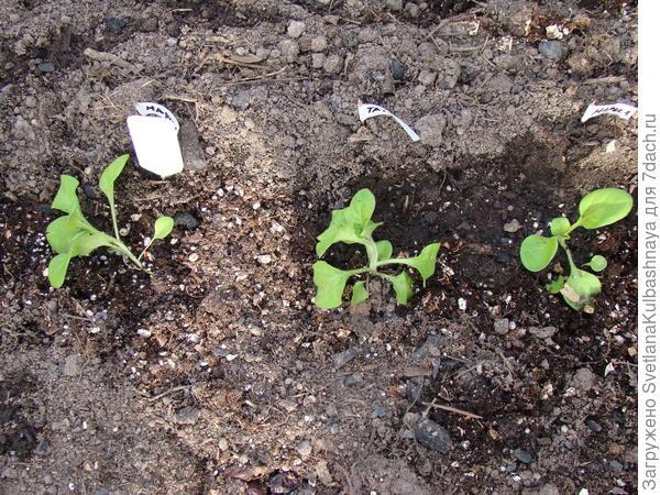 пересадка в ОГ, Мария-1 и 3 растения