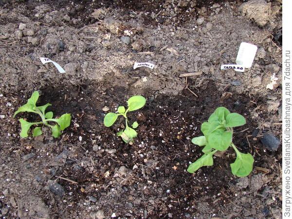 Пересадка в ОГ, Татьяна 1 и 3 растение