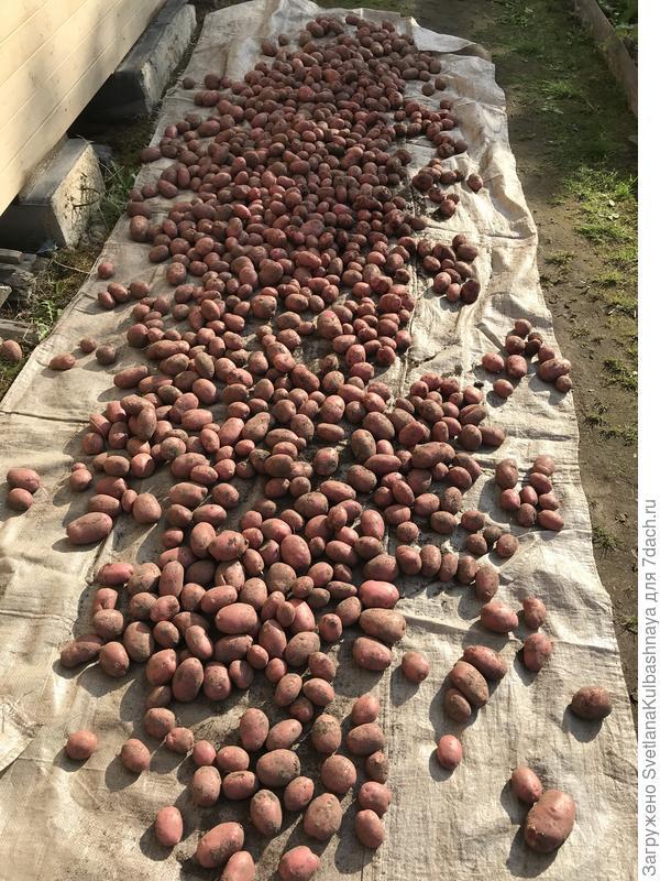 Картофель необработанный, общий вид