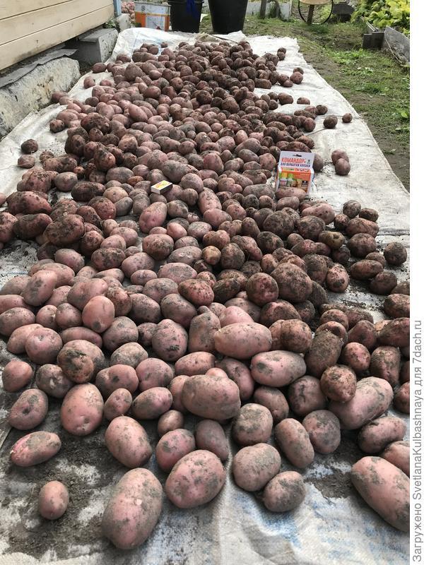 Обработанный картофель, общий вид