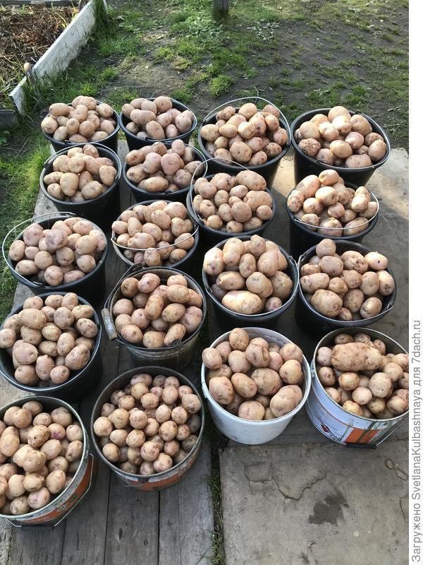 Необработанный картофель