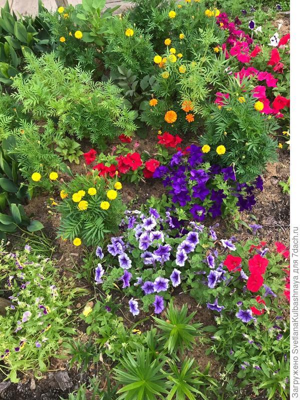 Цветение петуний