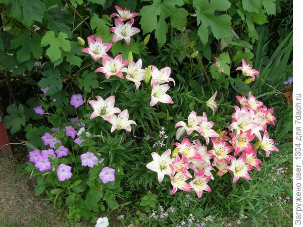 лилия лолипоп