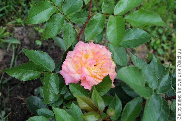 Лампион розовеет