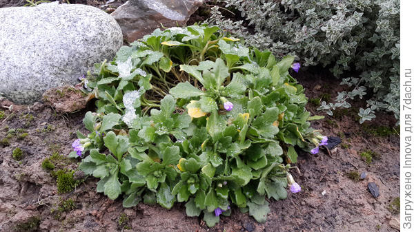 Первого января цветет обриетта