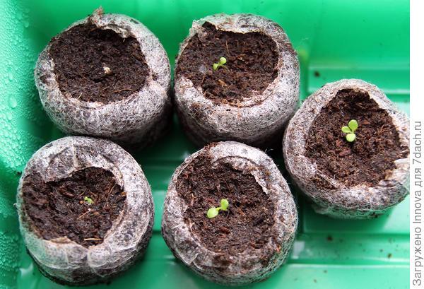 15 марта (17й день от посева) 4 всхода, один вырастил первый настоящий лист, один отстает в развитии