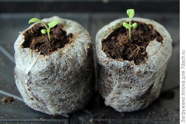 Пикируемые растения. 22 марта до пикировки