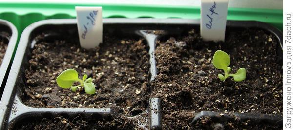 26 марта. 28-й день от посева и 4-ый день после пересадки